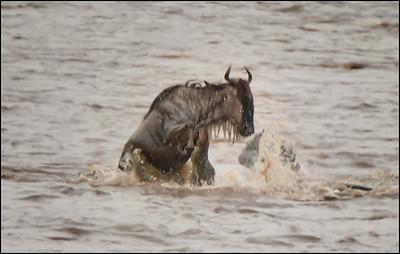 Wildebeest Kill 2, Mara River, Kenya.