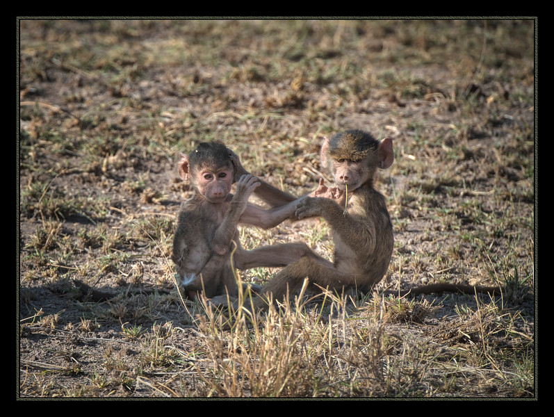 Who? Us? Baby baboons in<br /> Amboseli National Park, Kenya.