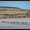 Wildebeest crossing, Mara River, Maasai Mara National Reserve, Kenya.