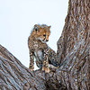 Baby cheetah, Amboseli National Park, Kenya.