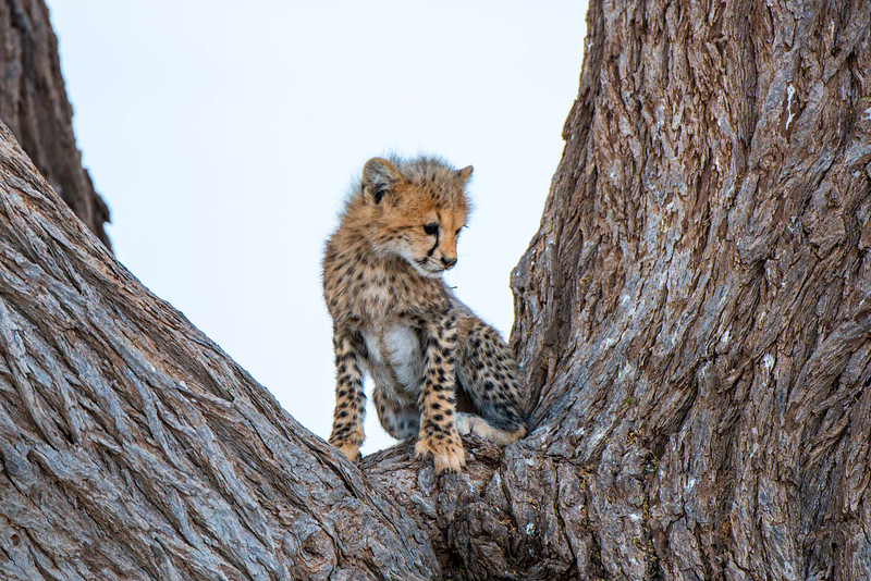 Baby cheetah, Amboseli National Park, Kenya.