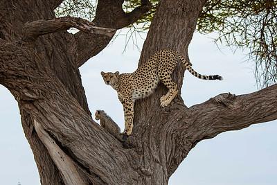 Cheetah mother and cub, Amboseli National Park, Kenya.