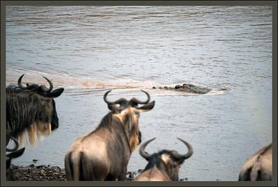 Don't cross now! Maasai Mara National Reserve, Kenya.