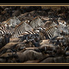 Zebras and wildebeests massing to cross the Mara River, Maasai Mara National Reserve, Kenya.