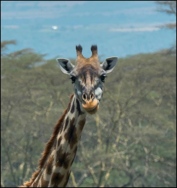 Silly giraffe near Naivasha, Kenya.