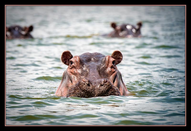 Hippo on Lake Oloiden, Kenya.