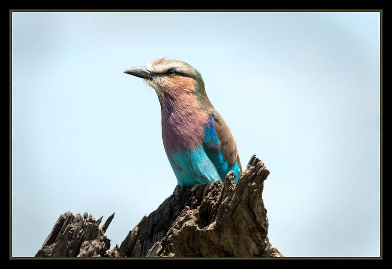 Lilac Breasted Roller, Maasai Mara National Reserve, Kenya.