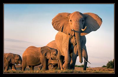 Elephants in Amboseli National Park, Kenya.