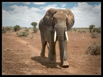Amboseli elephant, Kenya.