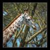 Giraffe profile, near Naivasha, Kenya.