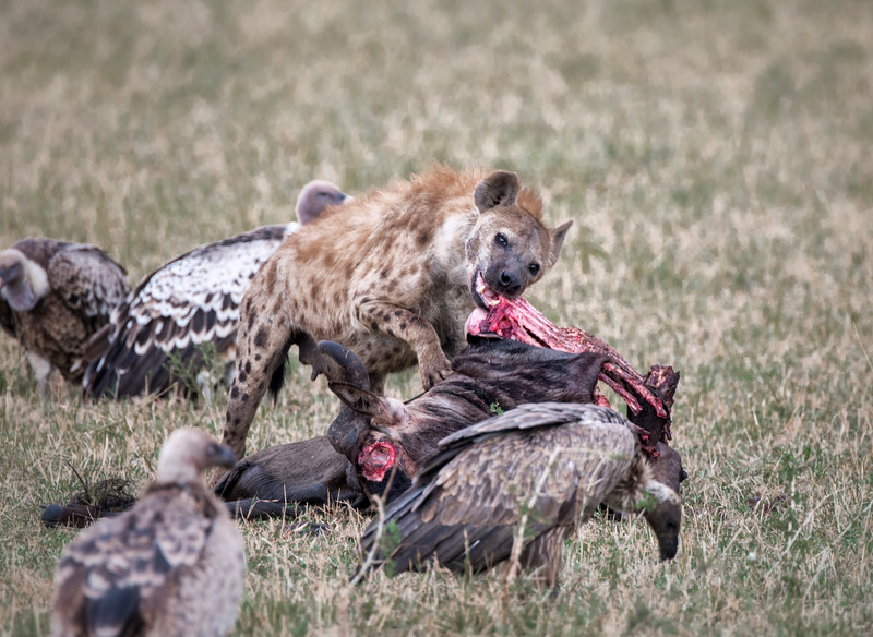 Once the lioness has had her fill she leaves her wildebeest kill to the hyenas.