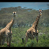 Giraffes near Naivasha, Kenya.