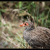 Red Necked Spurfowl, Amboseli National Park, Kenya, Thank you to Dr. Mark Levy.