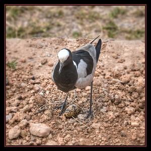 Plover with egg, Amboseli National Park, Kenya.