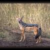 Jackal, Maasai Mara National Reserve, Kenya.
