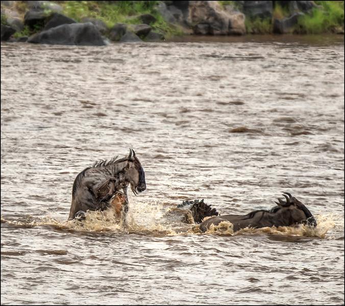Wildebeest Kill 1, Mara River, Kenya.