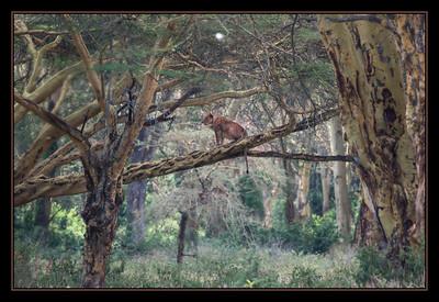 Lioness, Lake Nakuru National Park, Kenya.