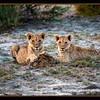 These lions are about nine months old. Amboseli National Park, Kenya.