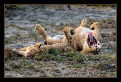 One very relaxed lioness, Amboseli National Park, Kenya.