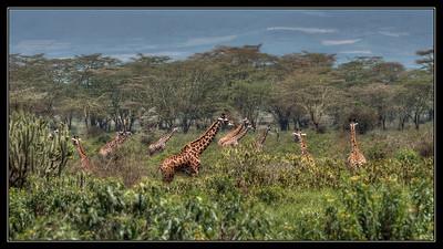 Giraffes, Naivasha, Kenya.