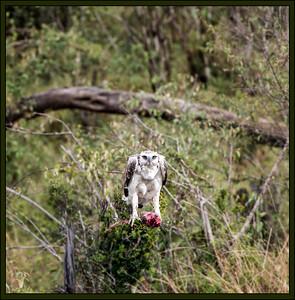 Martial Eagle protecting a kill, Maasai Mara National Reserve, Kenya.