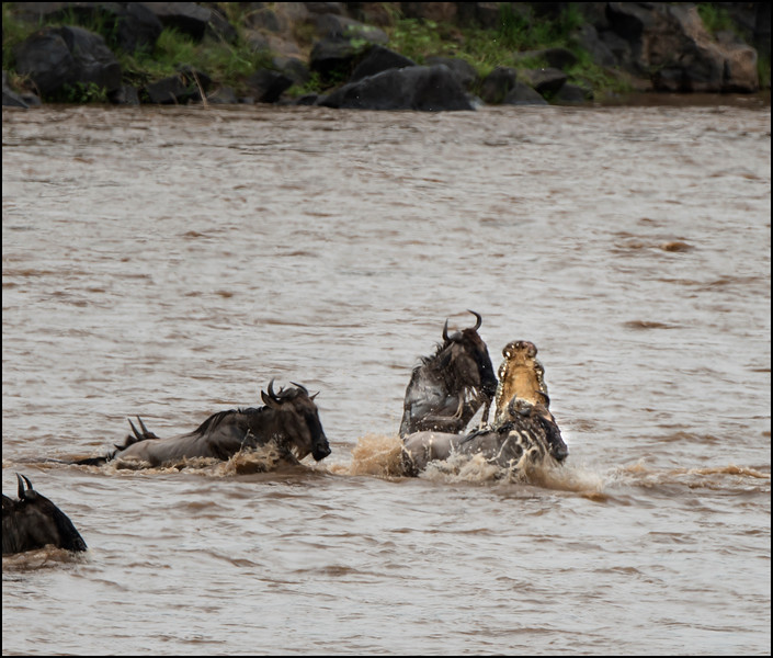Wildebeest Kill 3, Mara River, Kenya.