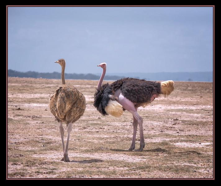 Ostriches, Amboseli National Park, Kenya.