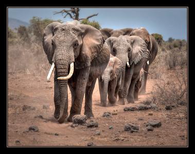 Elephants, Amboseli National Park, Kenya.