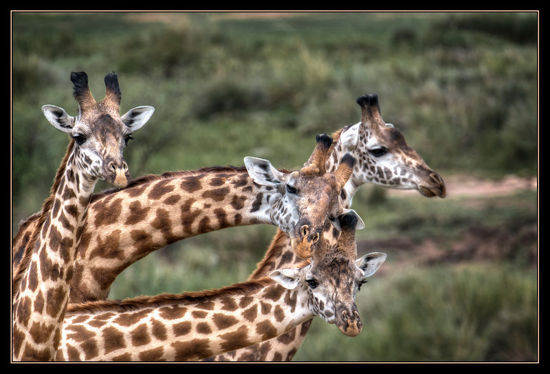 Giraffes, Maasai Mara National Reserve, Kenya.
