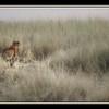 Leopard, Maasai Mara National Reserve, Kenya.