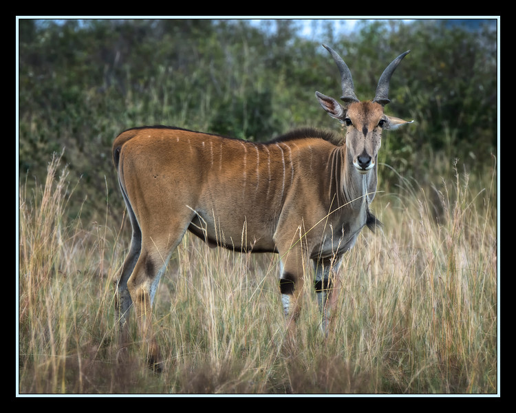 Common Eland, Maasai Mara National Reserve, Kenya.