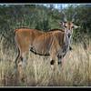 Common Eland, Maasai Mara National Reserve, Kenya.