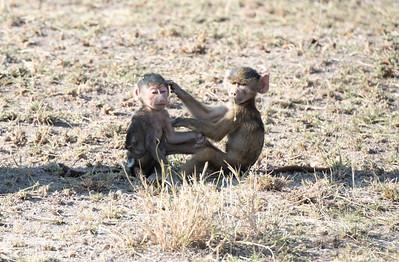 Baboon babies, Amboseli National Park, Kenya.