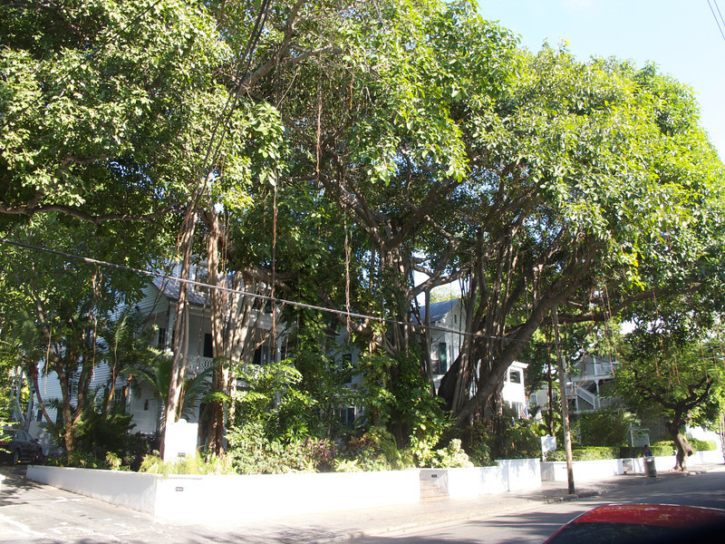 A local banyon tree in front of one of the many inns of Key West.