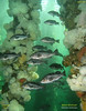 Facing the current, Black Rockfish schooling under the old wharf. <br />  Keystone Pilings, July 10, 2009