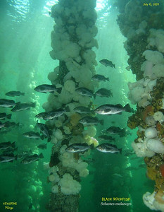 Black Rockfish schooling under the old wharf.  Keystone Pilings, July 10, 2009