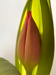 The Wife got some flowers and I decided to borrow them. This is/was a soon to bloom Tulip that I set in the bay window and used a bit of back/side lighting. Of course, taken with an Olympus E-1 camera.