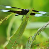 whitetail dragonfly