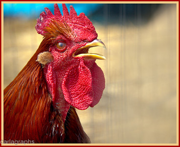 rooster-