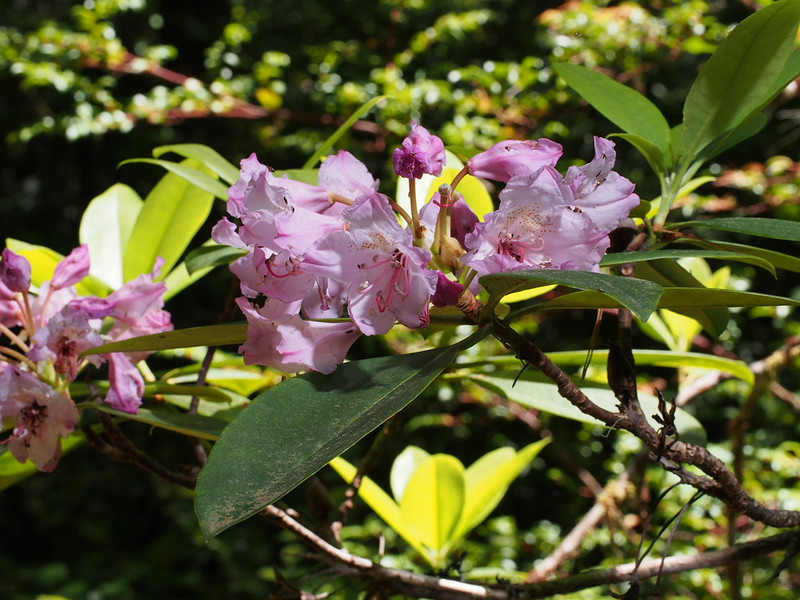 The last of the Coast Rhododendrons (Rhododendron macrophyllum) were blooming. If I had come next weekend, I would have probably missed them.