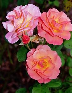 99-17-21Mannington Roses