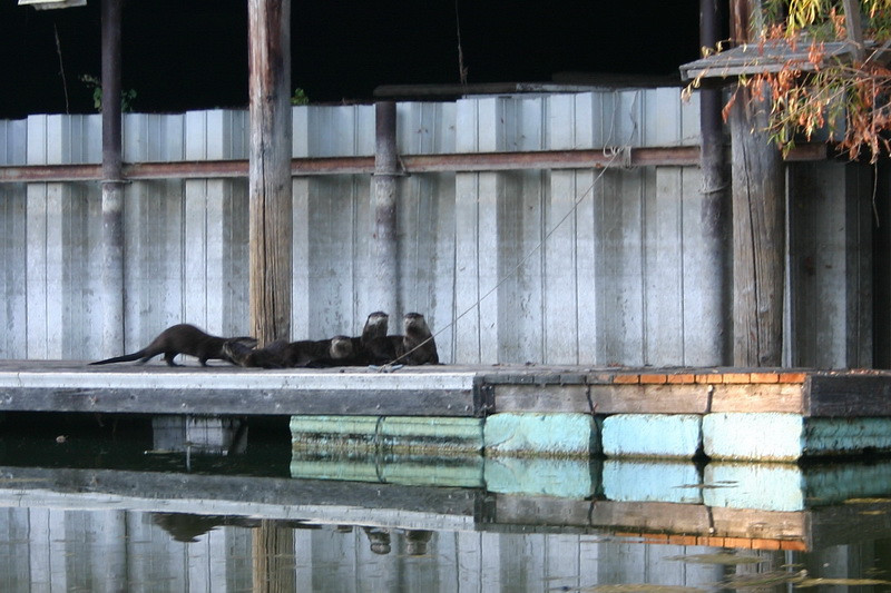 One evening last week, we came upon a family of river otters hangin' out on a neighbor's dock.  The light was weak, and they move around a lot, but I managed to capture a few clear shots...
