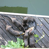 A couple of days later, I heard an odd noise on the dock below the upper deck of our house.  Turns out the otter family had caught a fish and in a matter of minutes, picked it clean.