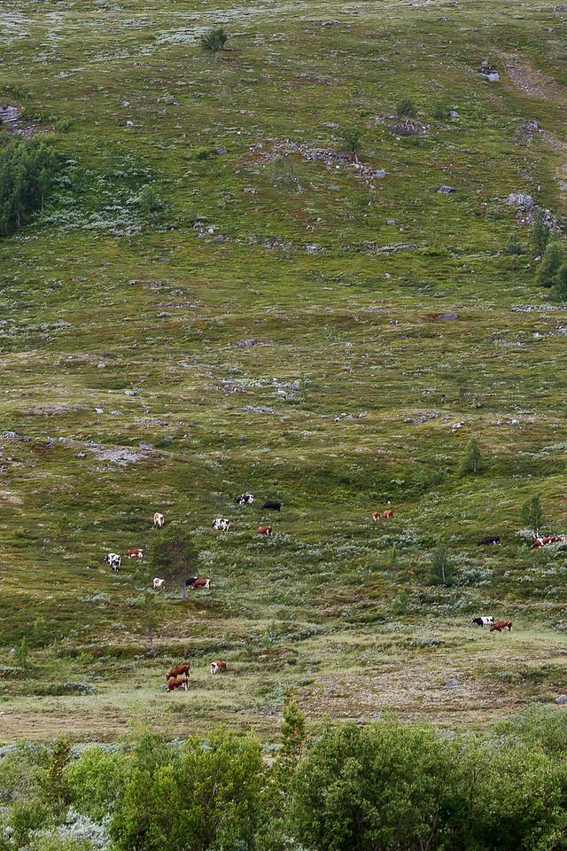 Kuer på fjellbeite