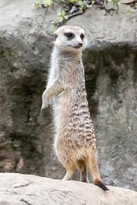 Meerkat on Patrol.