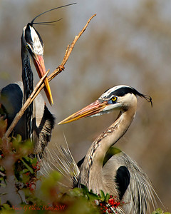 Great Blue Heron Pair in FL