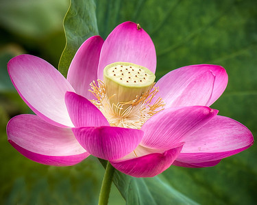 Pink Lotus at Liberty Township Wetlands Park, OH