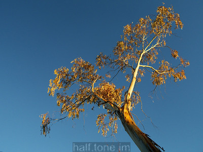 An old gum tree, near sunset