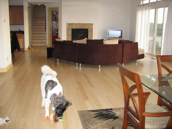 Hana, gutting her squeeky toy in the living room.