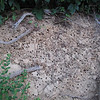 06/02/11 Digger bee colony. Digger bees are harmless (if you squeeze a female she might sting you) and they're prodigious pollinators